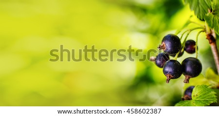 Branch of sweet fresh black currant in the garden. Black currant on the branch. Currant bush. Large crop currant berries, copy space, fruits, green leaves - stock photo
