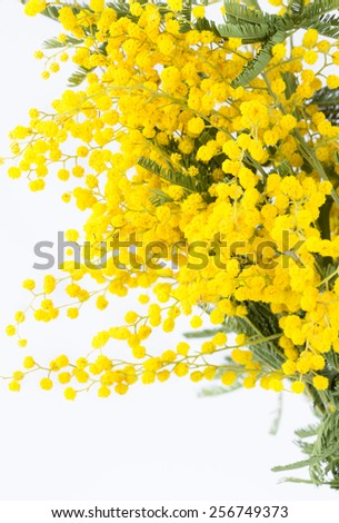 Branch of the blossoming mimosa on a white background - stock photo