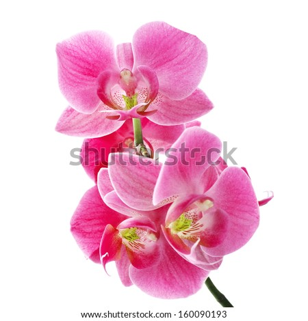 Branch of the orchid flowers - stock photo