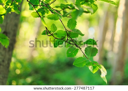 Branch of tree with fresh green leaves  - stock photo