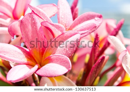 branch of tropical flowers frangipani (plumeria), - stock photo