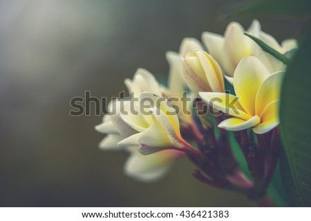 Branch of tropical flowers frangipani (plumeria) (Vintage filter effect used) - stock photo