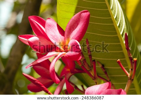 Branch of tropical pink flowers frangipani (plumeria) on dark green leaves background - stock photo