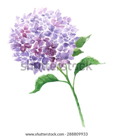 Branch of violet hydrangea. Garden flower. Watercolor floral illustration. - stock photo