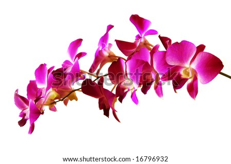 branch of violet orchids isolated on white - stock photo