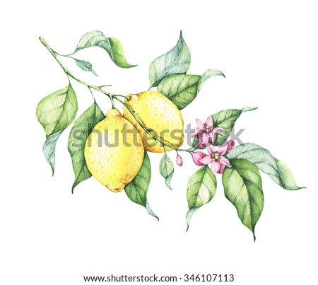 Branch of watercolor fresh lemon tree with green leaves, yellow lemons and pink flowers. Hand drawn watercolor elements for your design. Isolated on white. Clipart.  - stock photo