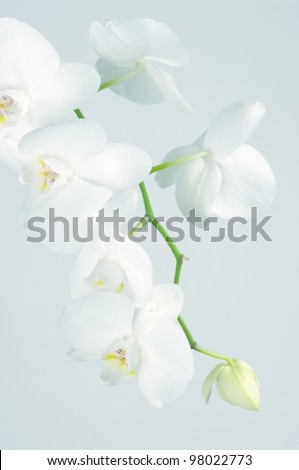 Branch of white orchid on light blue background. Toned image. - stock photo