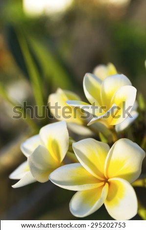branch of white Plumeria or Frangipani flowers. blossom of beautiful tropical plant  - stock photo