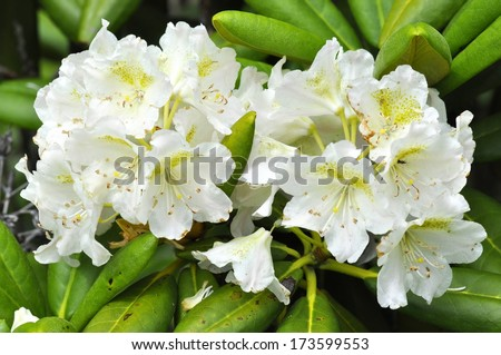 Branch of white Rhododendron bush - stock photo