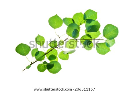 Branch of wild cherry tree with many green leaves isolated on white   - stock photo