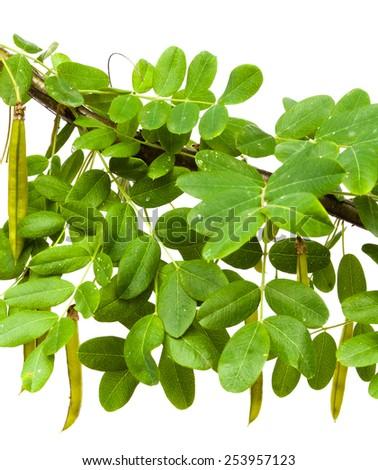 branch of yellow acacia (?aragana arborescens) - stock photo