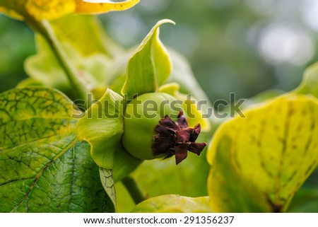 branch persimmon tree fruits with green leaves in Corfu, Greece. Orange tree with ripe fruits - stock photo