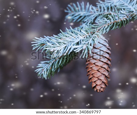 Branch spruce  with cone sprinkled with snow in the woods - stock photo