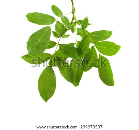 Branch walnut with unripe nuts and dense foliage, isolated on white background - stock photo