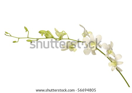 branch white orchid Isolated - stock photo