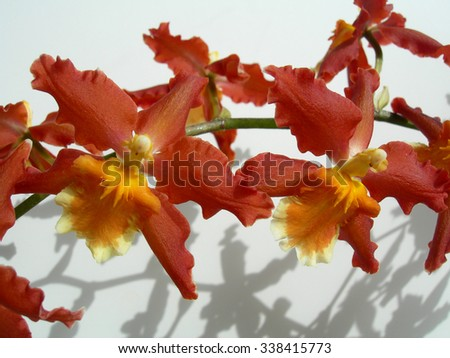 Branch with a cluster of rare Marsala red orchids with orange centers against a white background - stock photo