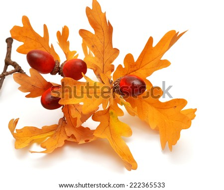 Branch with acorns and leaves isolated on white background - stock photo
