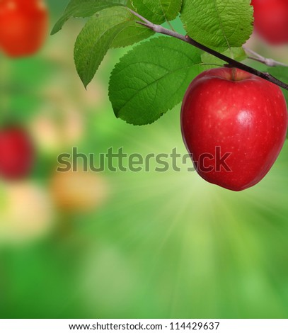 Branch with apples - stock photo