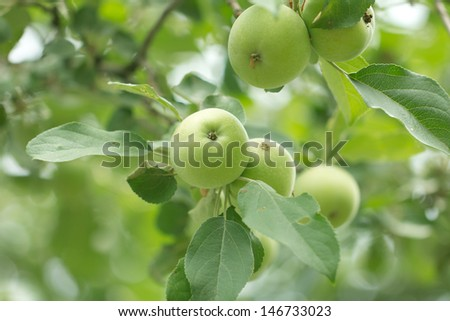 branch with apples on the nature - stock photo