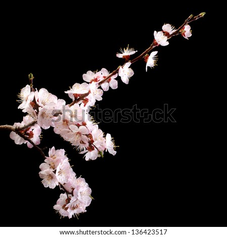 Branch with apricot flowers on a dark background. low key - stock photo