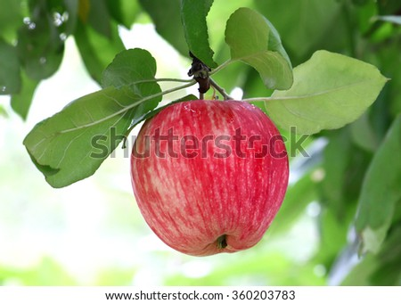 branch with bright tasty apple - stock photo
