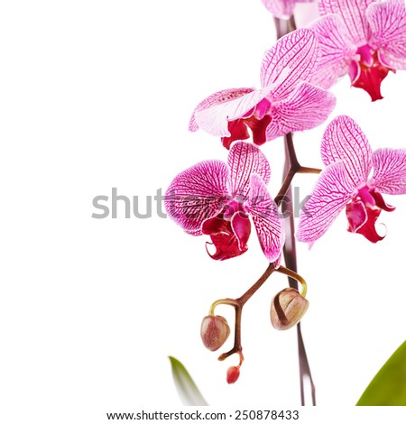 Branch with flowers of an orchid Phalaenopsis. Beautiful branch of pink flowers. Tropical pink flowers of an orchid. - stock photo