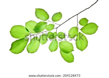 Branch with green leaves isolated on white   - stock photo