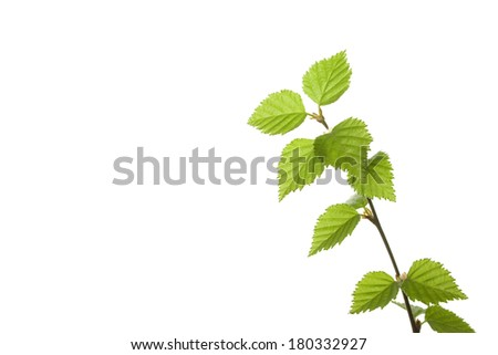 Branch with green leaves isolated on white background. Birch catkins - stock photo