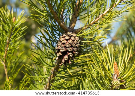 Branch with pinecone - stock photo