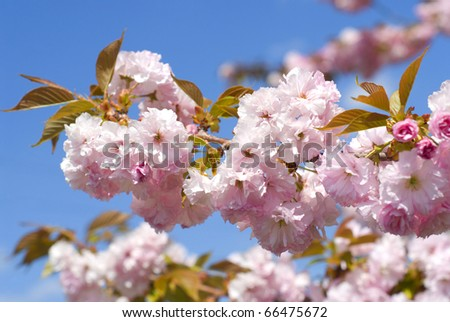 Branch with pink cherry blossoms - stock photo