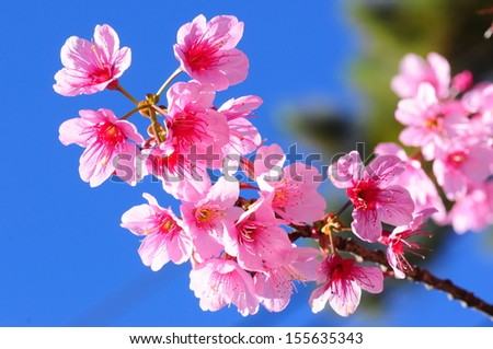 Branch with pink sakura blossoms flowers - stock photo