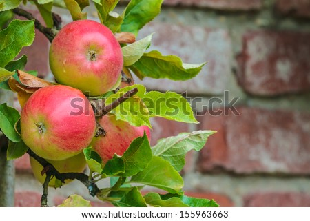 Branch with red apples in an orchard against an old brick wall - stock photo
