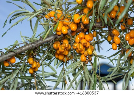 Branch with ripe juicy berries of sea buckthorn. - stock photo