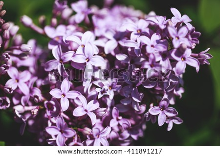 Branch with spring lilac flowers and green leaves. Lilac bush. - stock photo