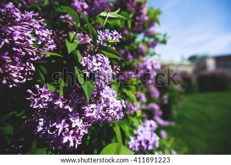 Branch with spring lilac flowers and green leaves. Lilac bush over blue sky. - stock photo