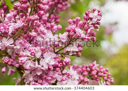 branch with spring lilac flowers close up - stock photo
