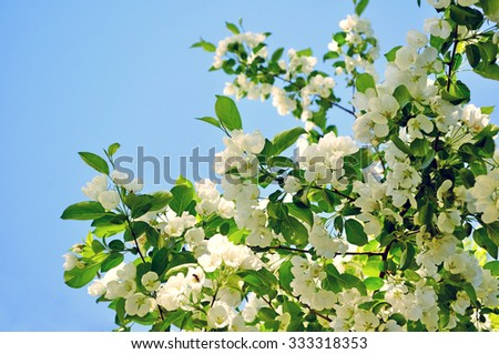 Branch with white blooming apple flowers on the background of the clear blue sky under bright sunlight - spring floral background. Tones correction. Soft focus processing - stock photo