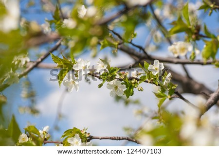 Branch with white blossoms. Natural background - close up with shallow DOF. - stock photo