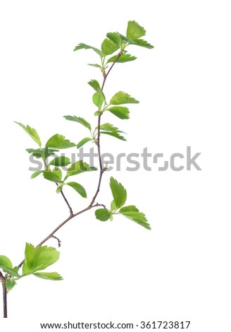 Branch with young green spring leaves isolated on white.  - stock photo