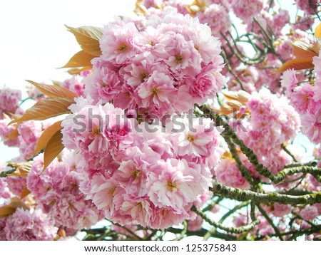 Branches full of pink Japanese cherry blossoms in springtime. - stock photo
