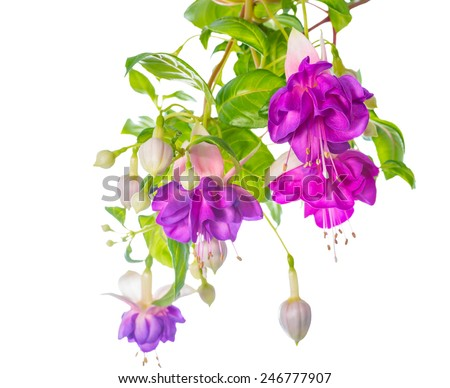 branches lilac fuchsia flower is isolated on white background, `Heydon` - stock photo