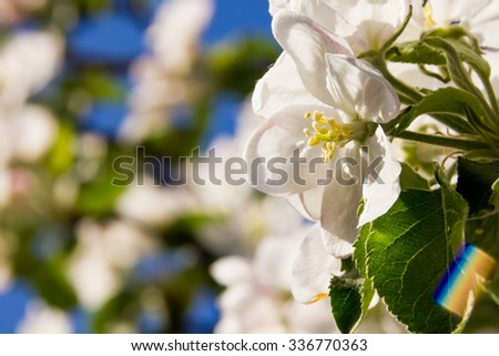 Branches of a blossoming apple-tree against the blue sky hd - stock photo