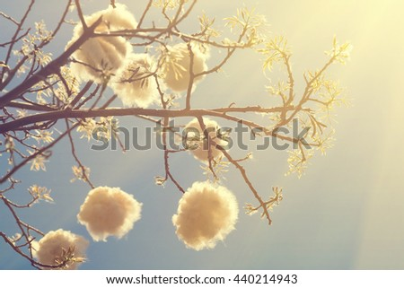 Branches of a tree with white fluffy fruit on blue sky background, sunny - stock photo