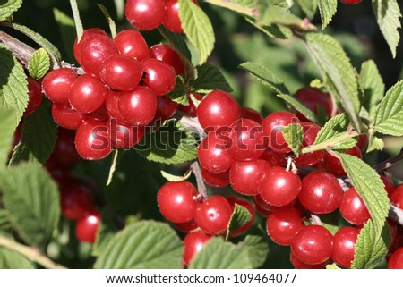 Branches of a wild cherry - stock photo