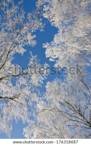 Branches of birches in the frost against of a clear blue sky - stock photo