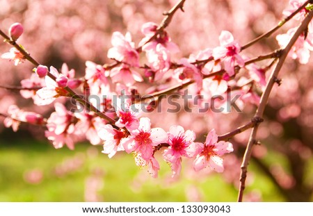 Branches of blooming cherry tree - stock photo