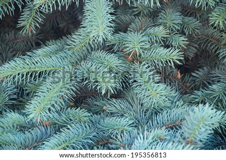Branches of blue fir tree. Background - stock photo