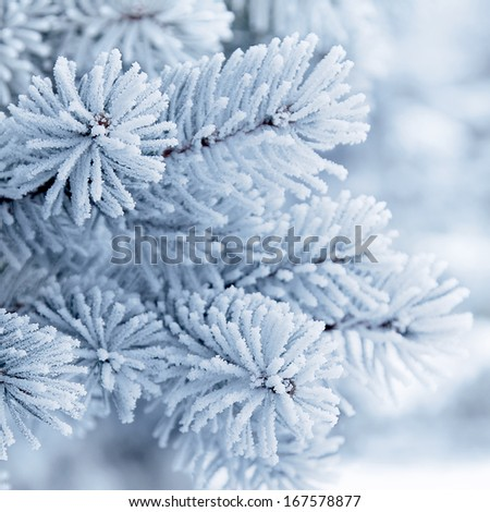Branches of blue spruce is covered with frost. Christmas tree on white background  - stock photo