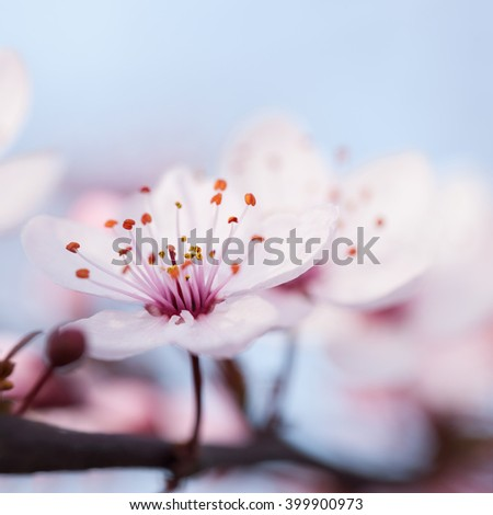 Branches of flowering plum against the sky - stock photo