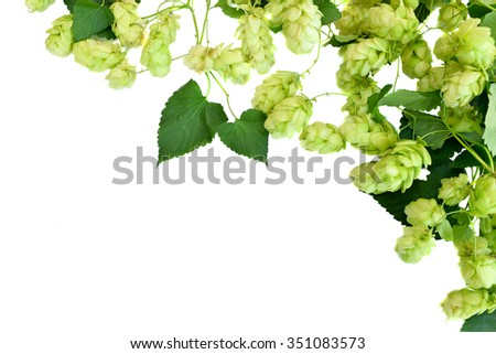 Branches of hop leaves, isolated on white background without shadows. Fresh green hops cones. Beer production ingredient. Brewing - stock photo